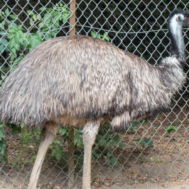 """Emu at Banham Zoo"" stock image"