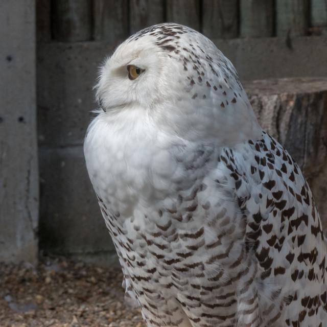 """Owl at Banham Zoo"" stock image"