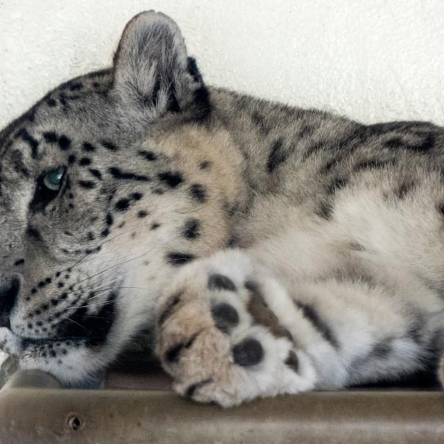 """Snow leopard at Banham Zoo"" stock image"