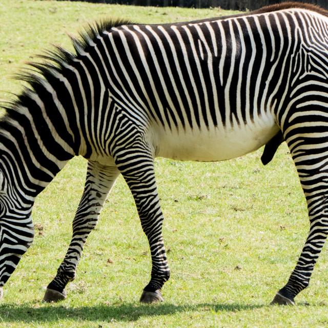 """Grevy's zebra at Banham Zoo"" stock image"