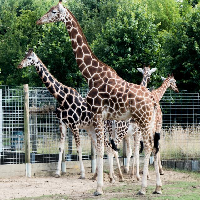 """""""Giraffe at Banham Zoo"""" stock image"""