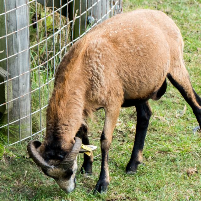 """""""Camaroon sheep at Banham Zoo"""" stock image"""