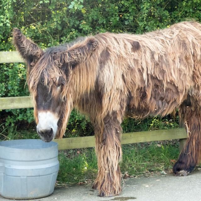 """""""Poitou donkey at Banham Zoo"""" stock image"""