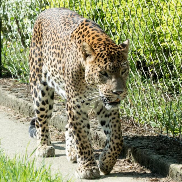 """""""Cheetah at Banham Zoo"""" stock image"""