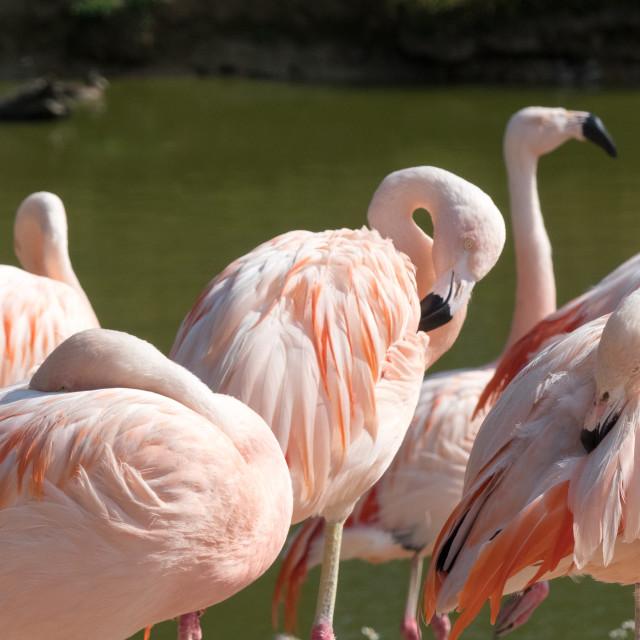 """Chilean flamingo at Banham Zoo"" stock image"