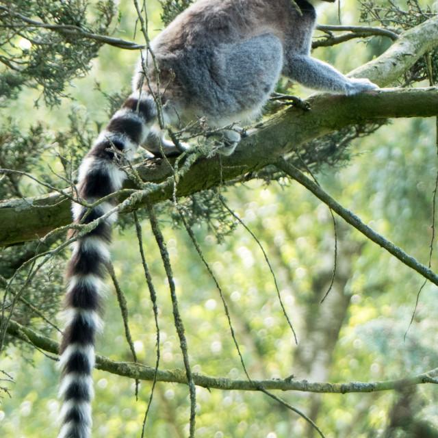 """""""Ring tailed lemur at Banham Zoo"""" stock image"""