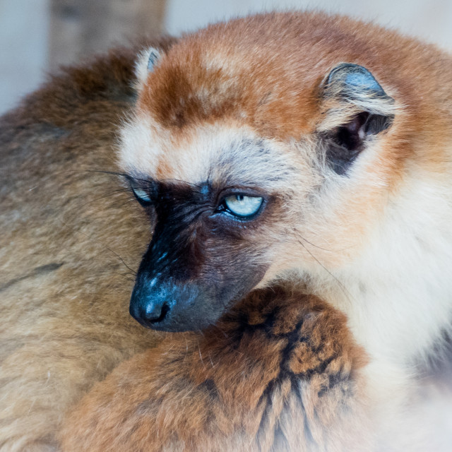"""Blue eyed black lemur at Banham Zoo"" stock image"