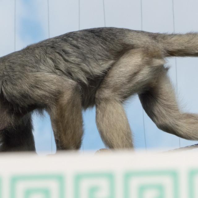 """""""Primate at Banham Zoo"""" stock image"""