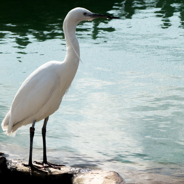 """""""African spoonbill at Banham Zoo"""" stock image"""