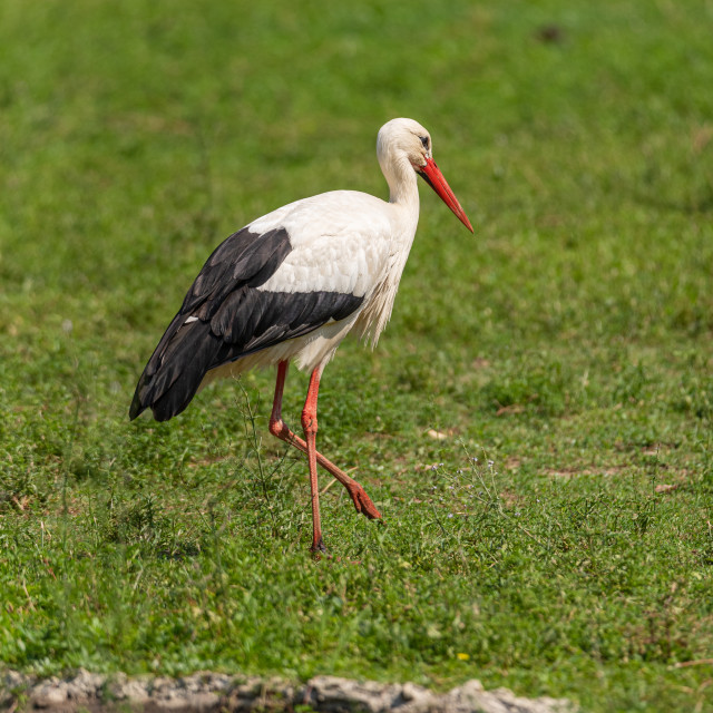 """""""A large white stork walks in a meadow"""" stock image"""