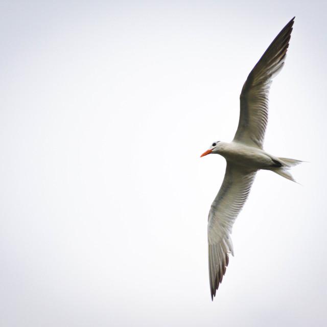 """Single Gull"" stock image"