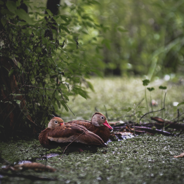 """Swamp Nap Time"" stock image"