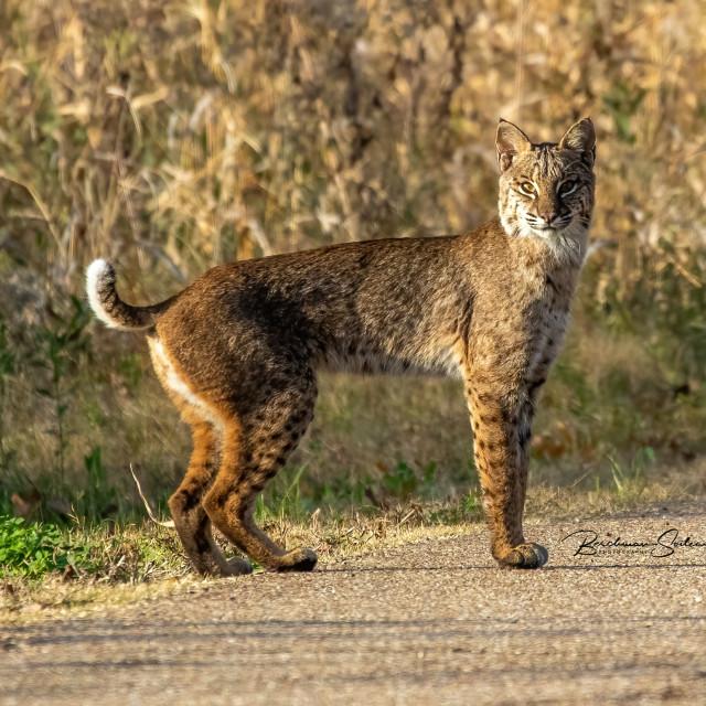 """Bobcat"" stock image"