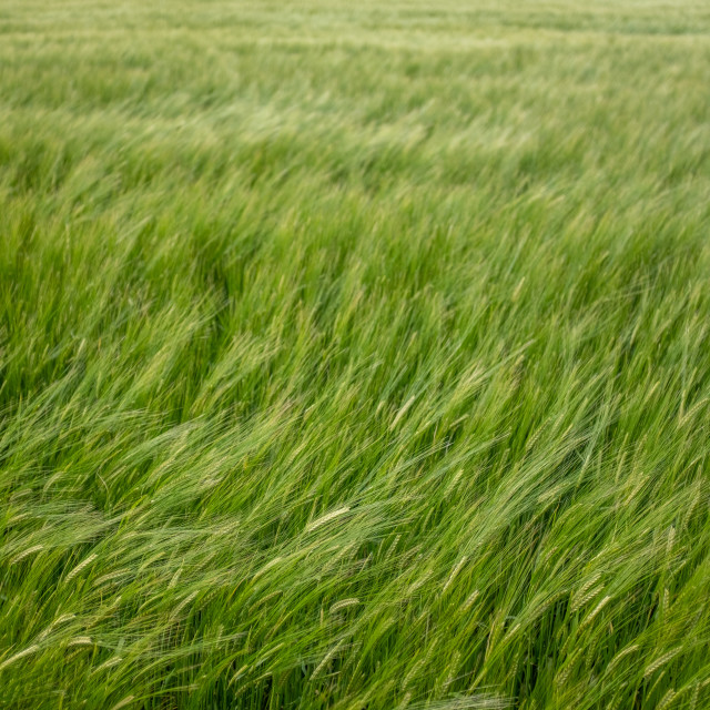 """Wind In A Wheat Field"" stock image"