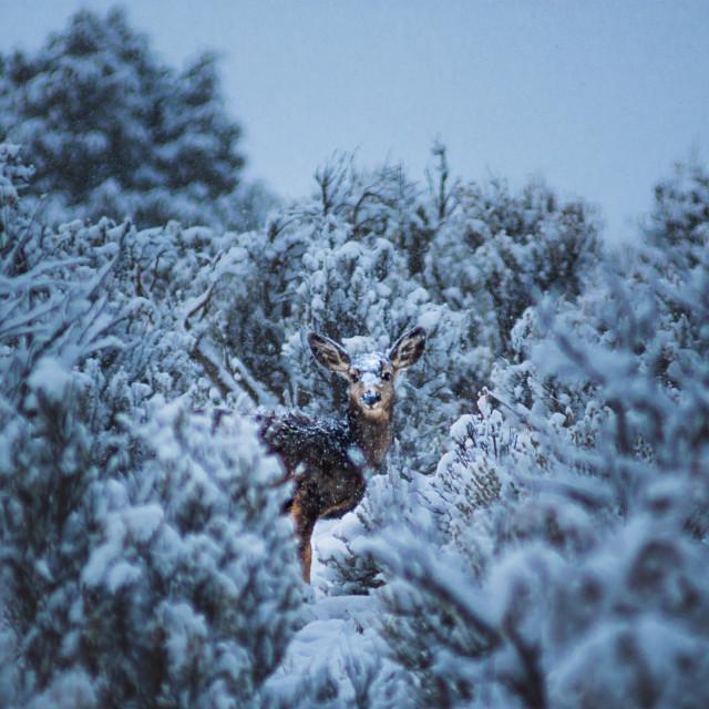"""Snow Covered Mule Deer"" stock image"