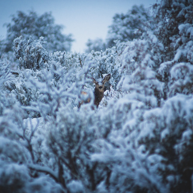 """""""Chilly Mule Deer"""" stock image"""