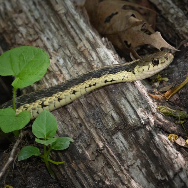 """""""Eastern Garter Snake in Glen Stewart Ravine, Toronto, ON"""" stock image"""