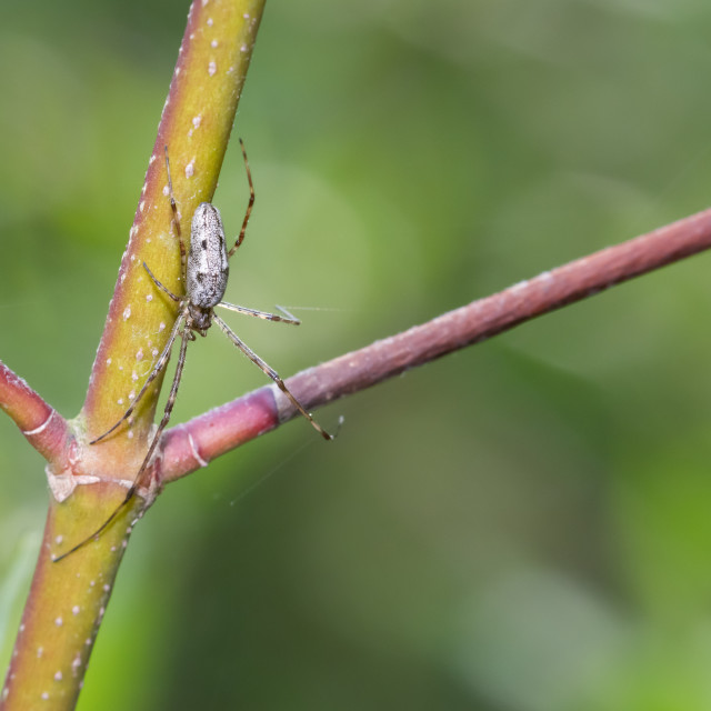 """Long-jawed Orbweaver spider (genus Tetragnatha)"" stock image"