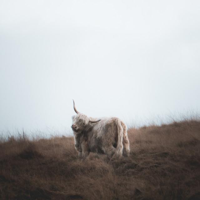"""Highland Cow"" stock image"