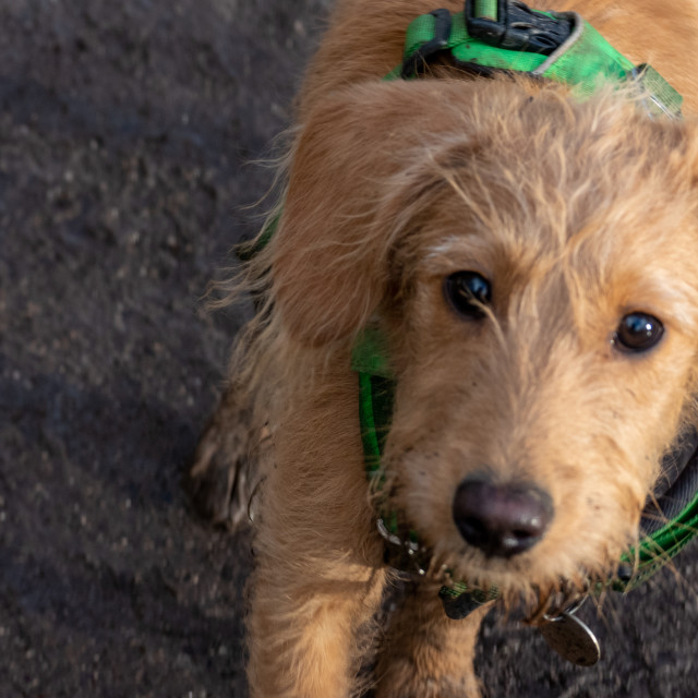 """""""Labradoodle puppy"""" stock image"""
