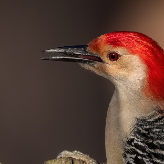 """Male Red-bellied Woodpecker Portrait"" stock image"