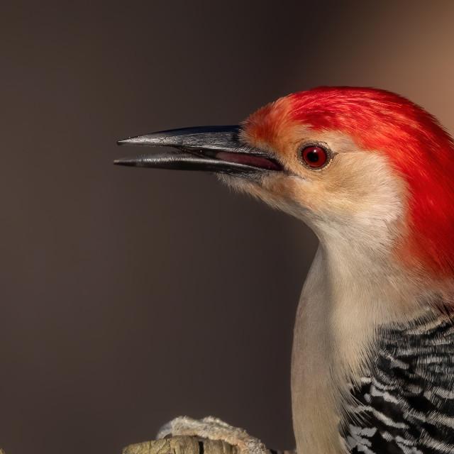 """""""Male Red-bellied Woodpecker Portrait"""" stock image"""