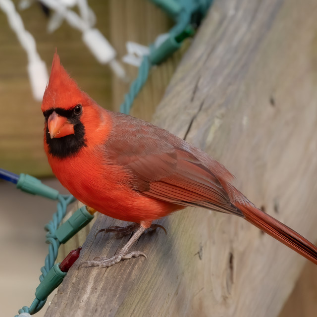 """""""Male Northern Cardinal on Porch"""" stock image"""