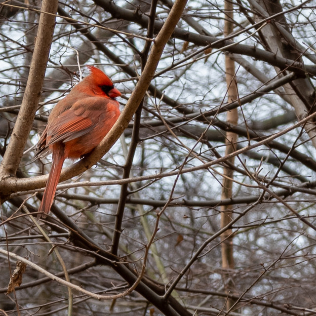 """Northern cardinal // Central Park, New York"" stock image"