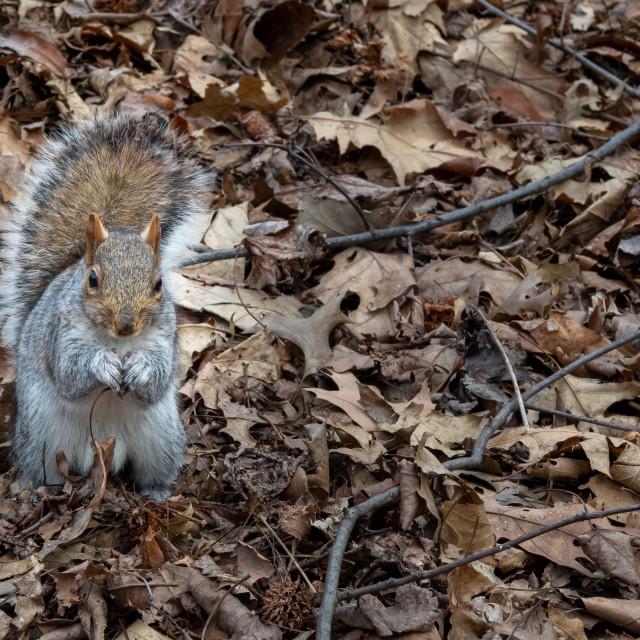 """Squirrel in Cental Park // Manhattan, New York"" stock image"