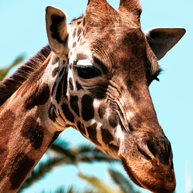 """Portrait of Giraffe"" stock image"