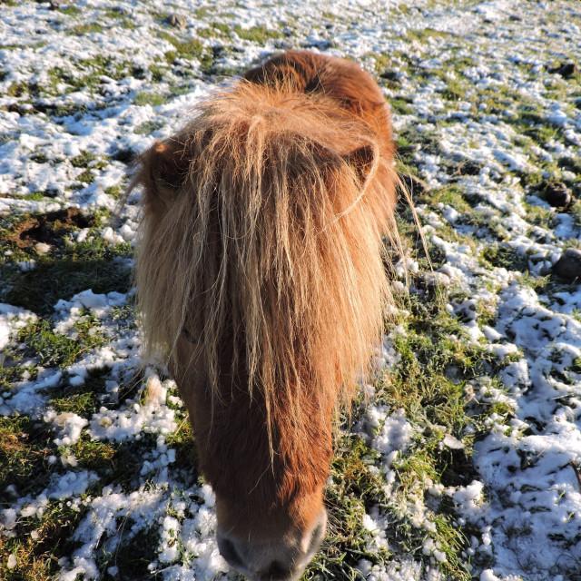 """Shetland Pony Inverness Highlands of Scotland 2016"" stock image"