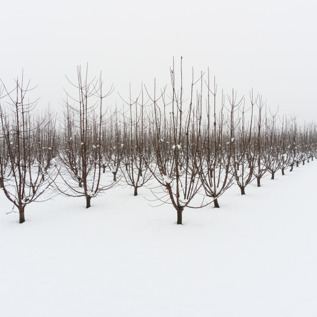 """""""Snowy orchard on a winter afternoon"""" stock image"""