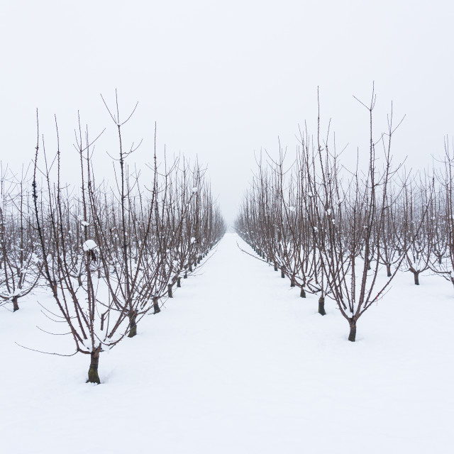 """""""Snowy orchard on a winter day"""" stock image"""