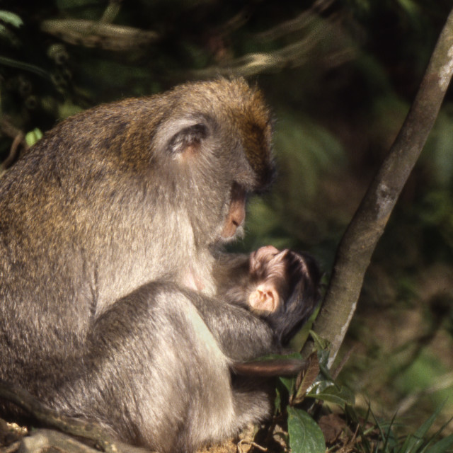"""""""Crab-Eating Macaque & baby."""" stock image"""