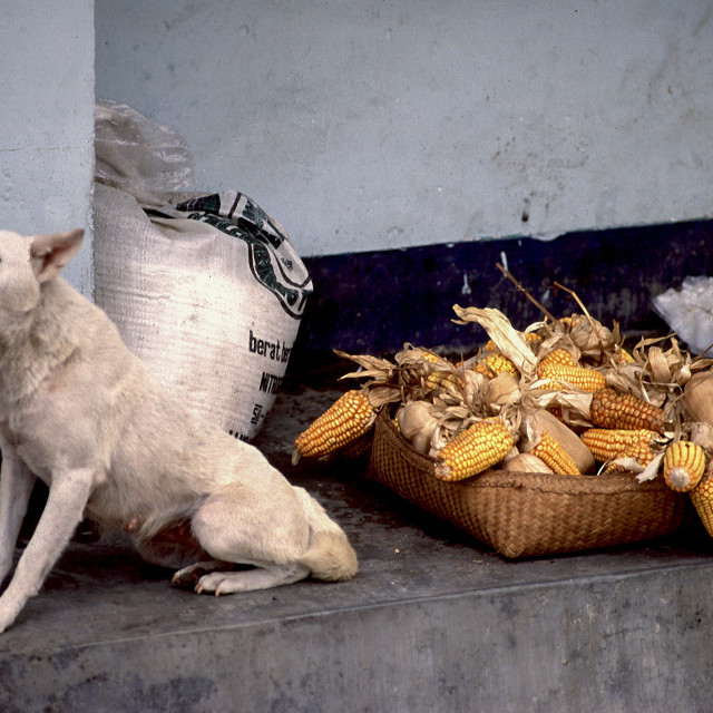 """Dog with corncobs"" stock image"