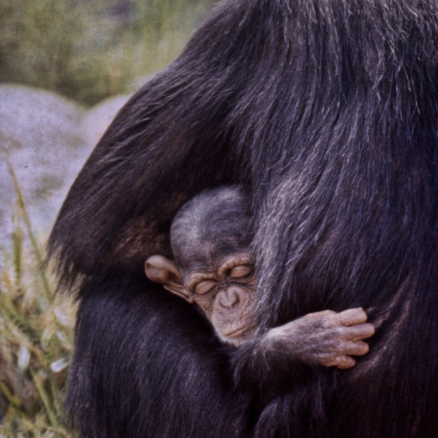 """Chimpanzee & baby"" stock image"