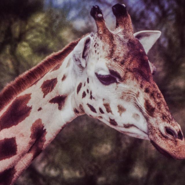 """""""Giraffe headshot"""" stock image"""