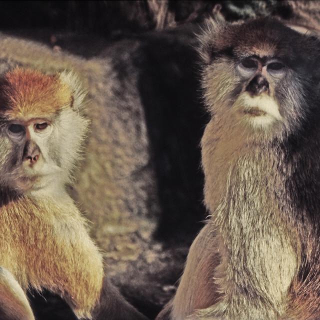 """Crab-Eating Macaques.tif"" stock image"