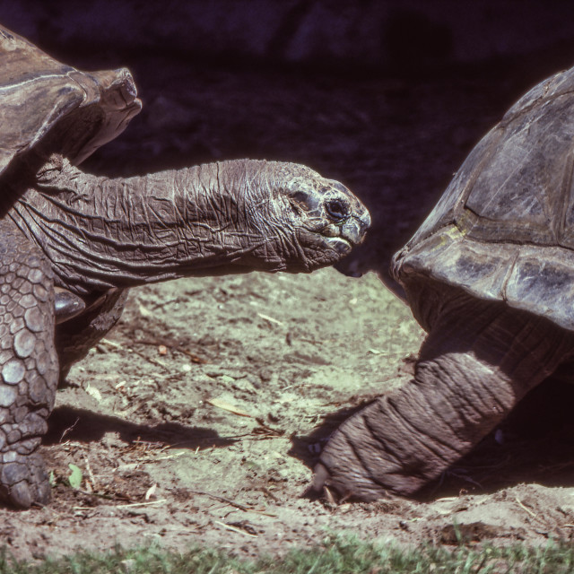 """Giant Tortoises Go Single File"" stock image"