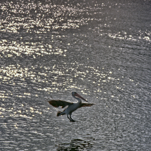 """""""Pelican about to land on rippled water"""" stock image"""