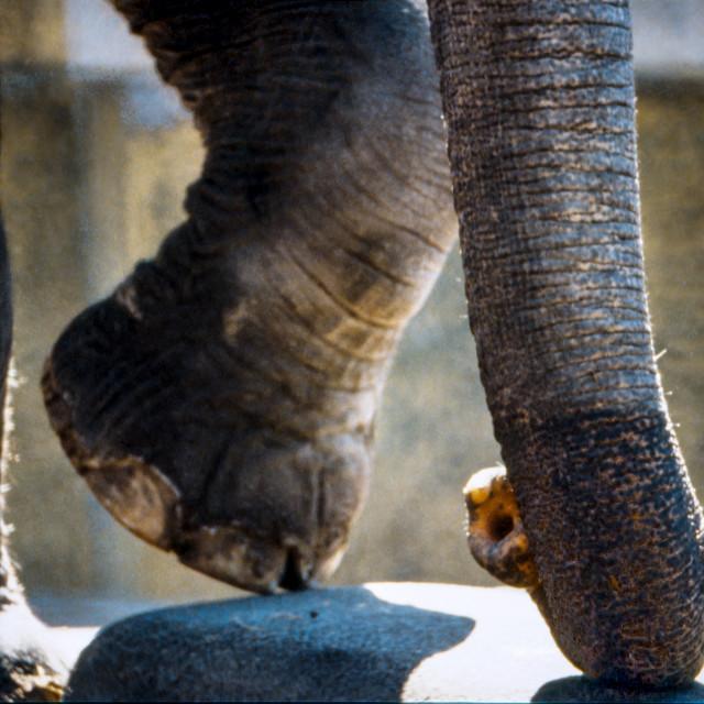 """Elephant trunk & foot"" stock image"