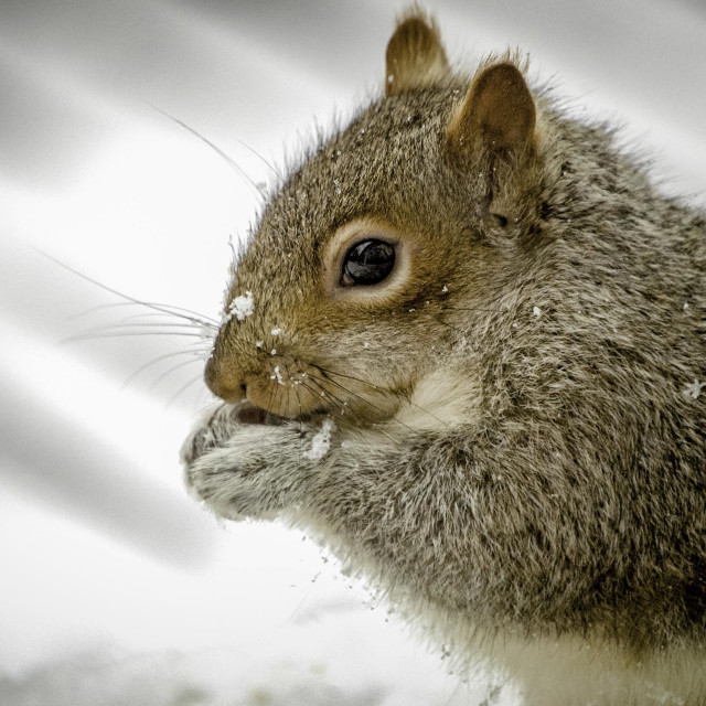 """""""Gray Squirrel eating a nut"""" stock image"""