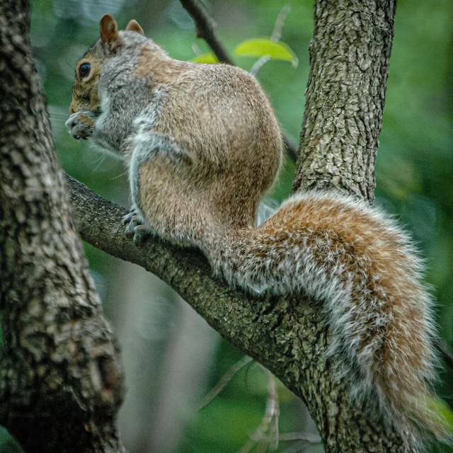 """Gray squirrel"" stock image"