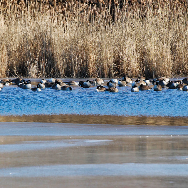 """""""Canada Geese on pond"""" stock image"""