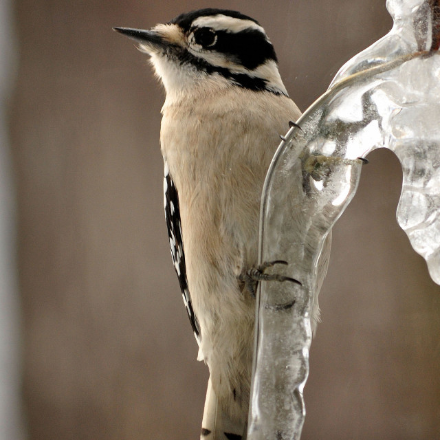 """""""Downy Woodpecker on icy wire"""" stock image"""