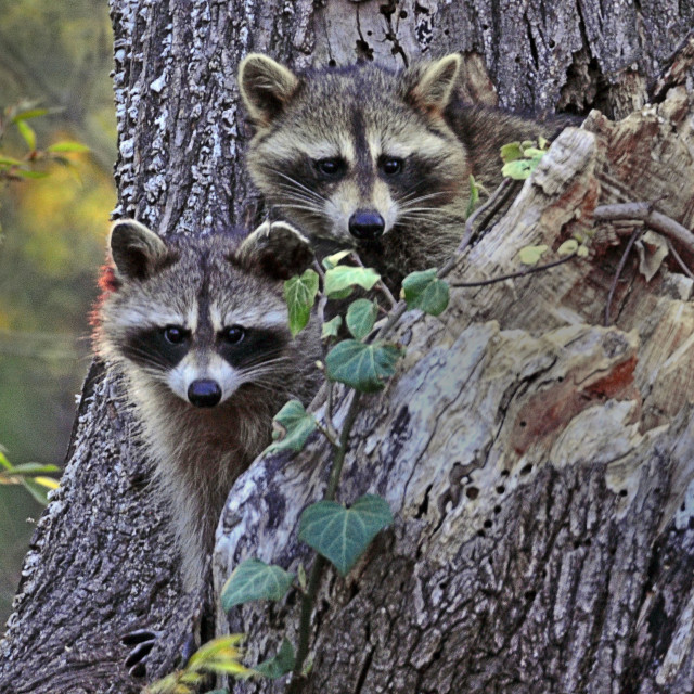 """""""Male and female racoons looking directly at camera"""" stock image"""
