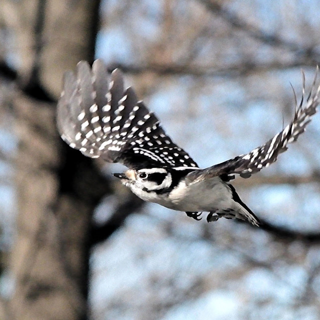 """""""Downy Woodpecker in flight"""" stock image"""