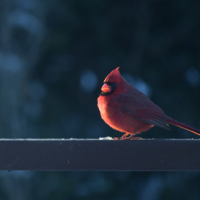 """Cardinal, female"" stock image"