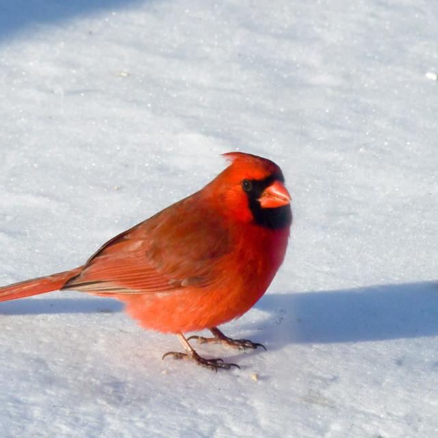 """Cardinal, male"" stock image"
