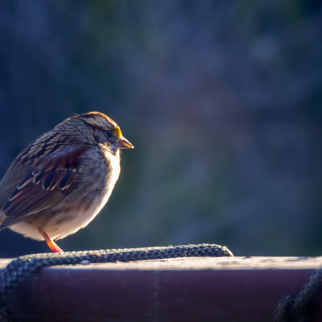 """""""House sparrow"""" stock image"""